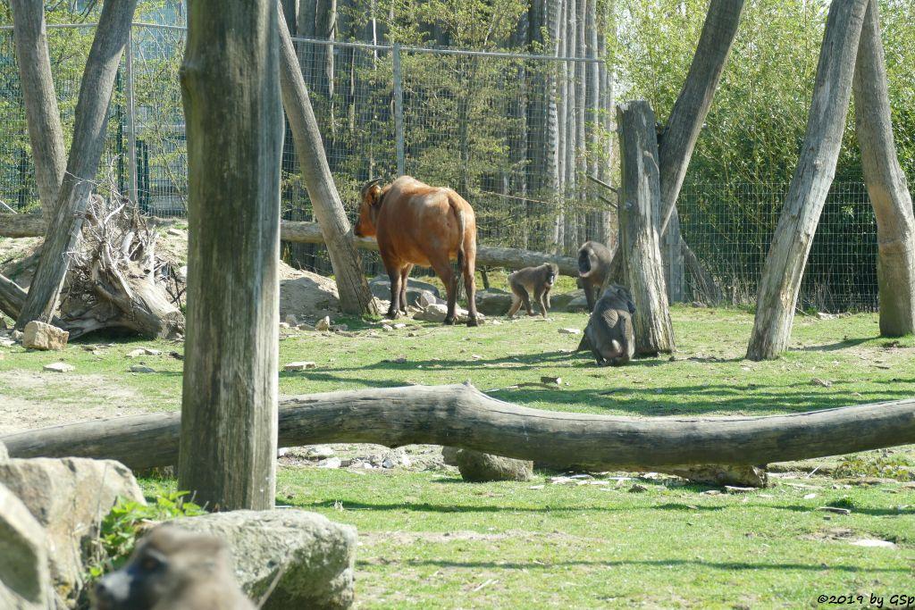 Rotbüffel (Waldbüffel), Drill