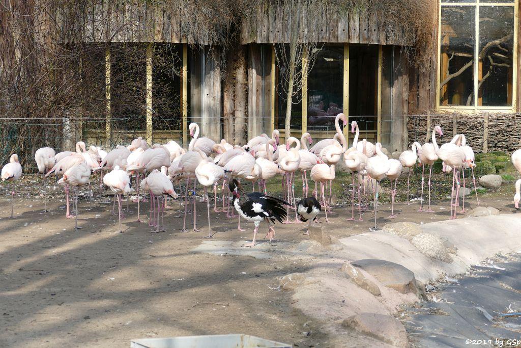 Rosaflamingo (Europäischer Flamingo), Helle Sporngans (Ostafrikanische Sporengans)