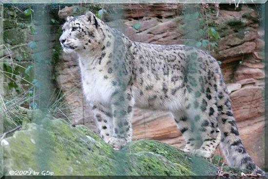 SchneeleopardSchneeleopard