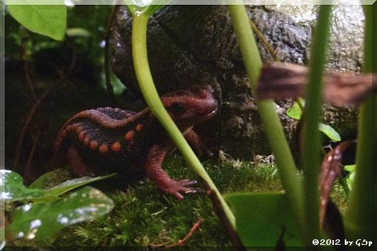Gelber Krokodilmolch