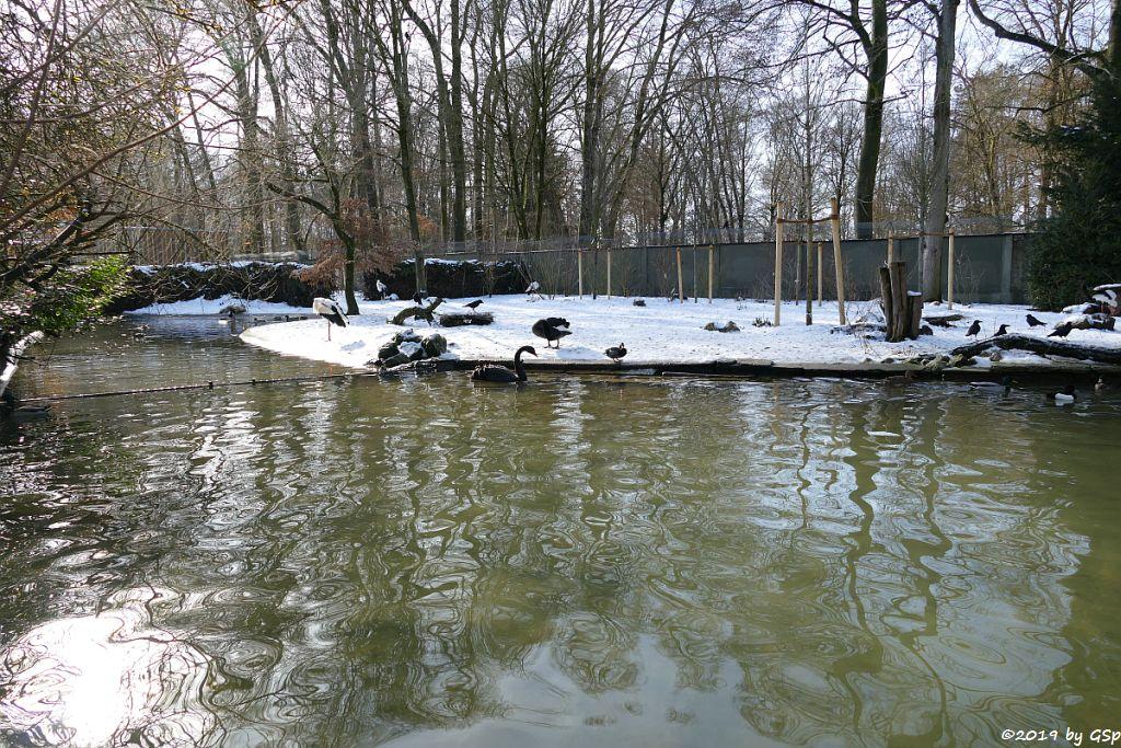 Weißstorch, Schwarzschwan (Trauerschwan, Schwarzer Schwan)