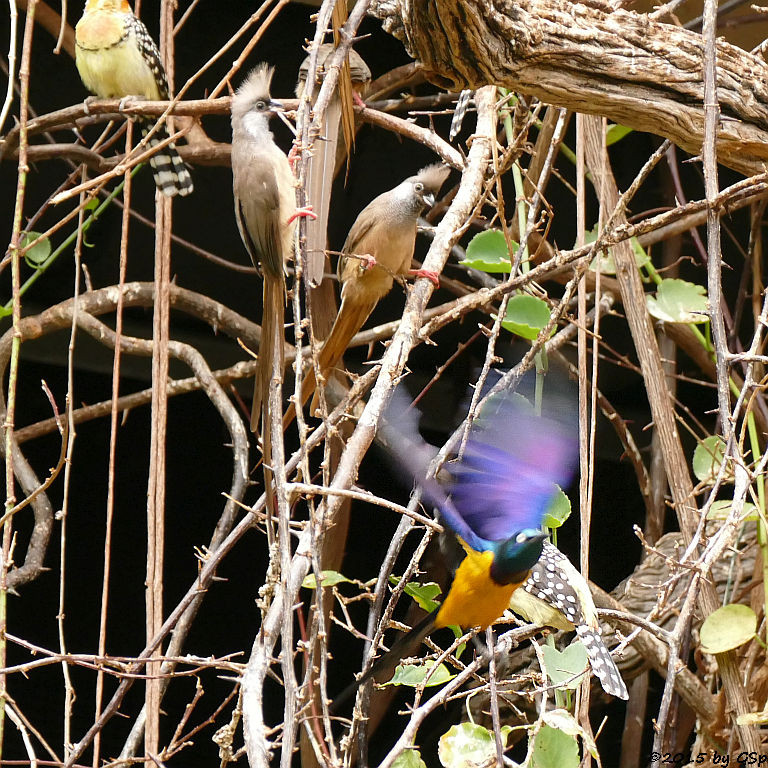 Königsglanzstar, Flammenkopfbartvogel, Gestreifter Mausvo