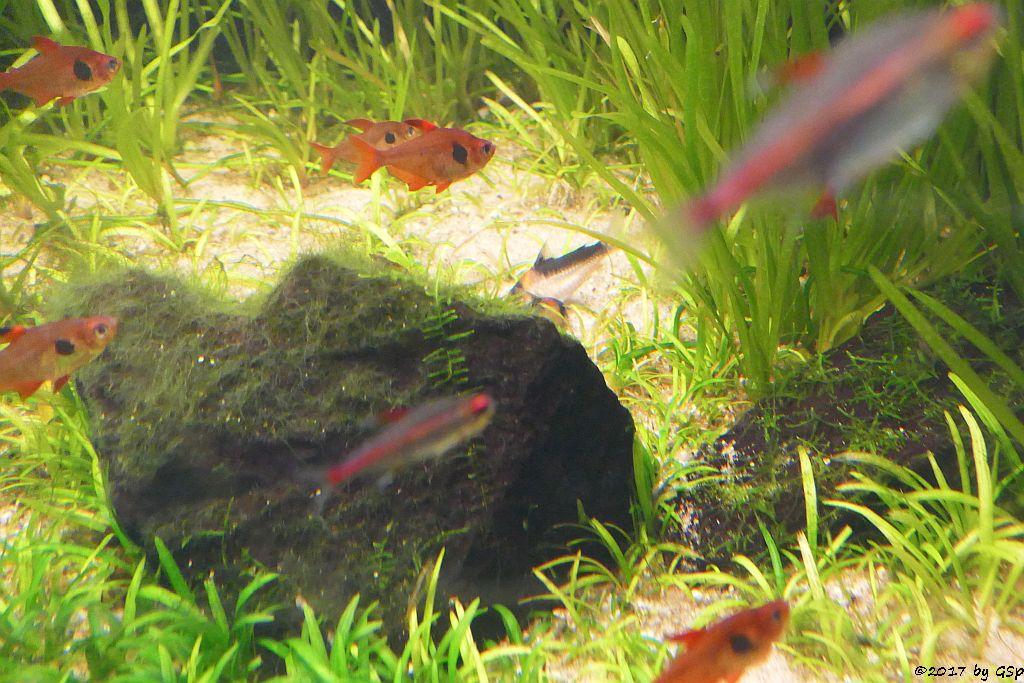 Roter Phantomsalmler