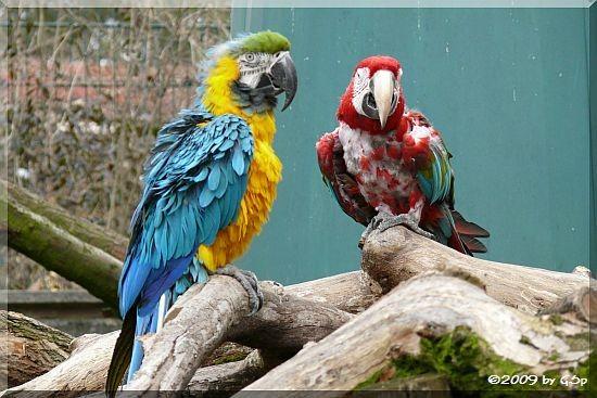 Gelbbrustara und Grünflügelara