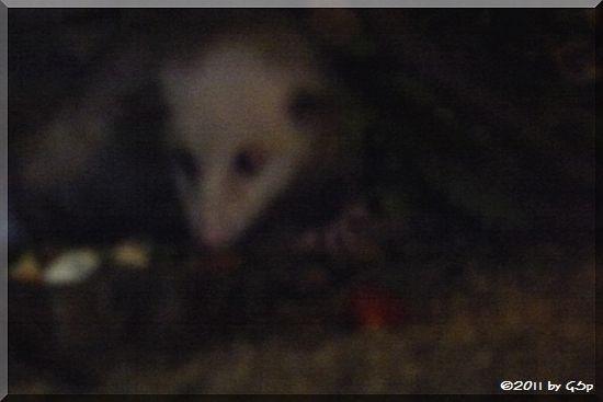 Opossum HEIDI, eingeschläfert 28/29.9.11