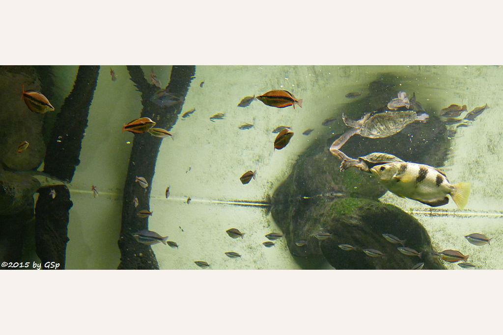Gebänderter Regenbogenfisch, Schützenfisch, Gewöhnliche Schlangenhalsschildkröte