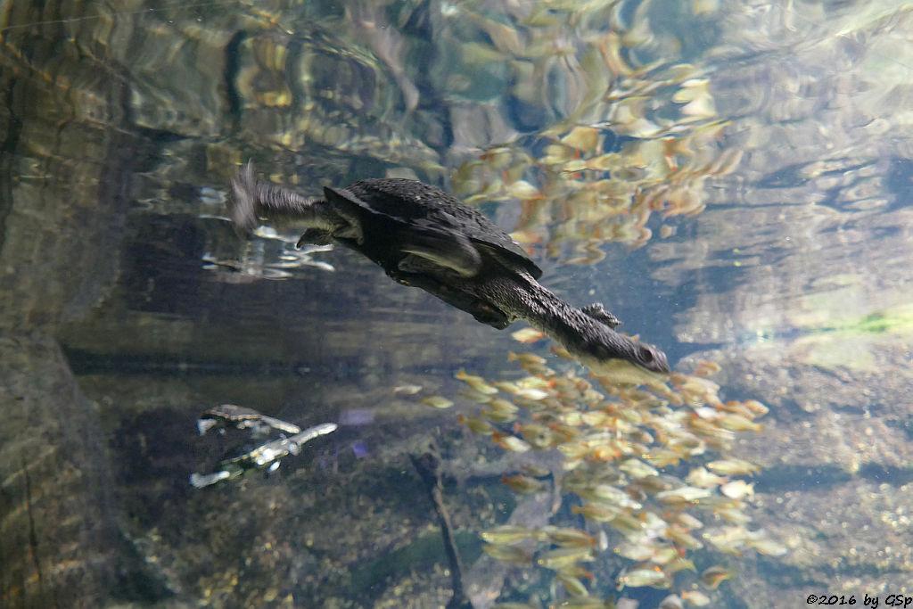Glattrücken-Schlangenhalsschildkröte (Gewöhnliche Schlangenhalsschildkröte)