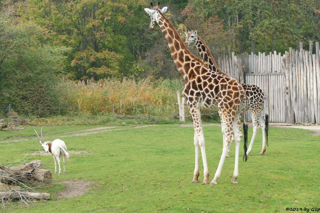 Säbelantilope, Rothschildgiraffe (Uganda-Giraffe, Baringo-Giraffe)