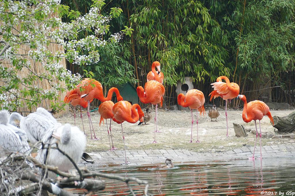 Rötelpelikan, Kubaflamingo (Karibischer Flamingo, Roter Flamingo)