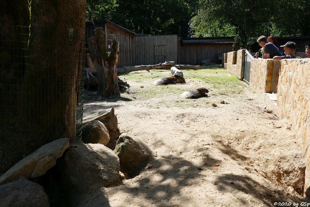Weißschwanz-Stachelschwein (Indisches Stachelschwein)