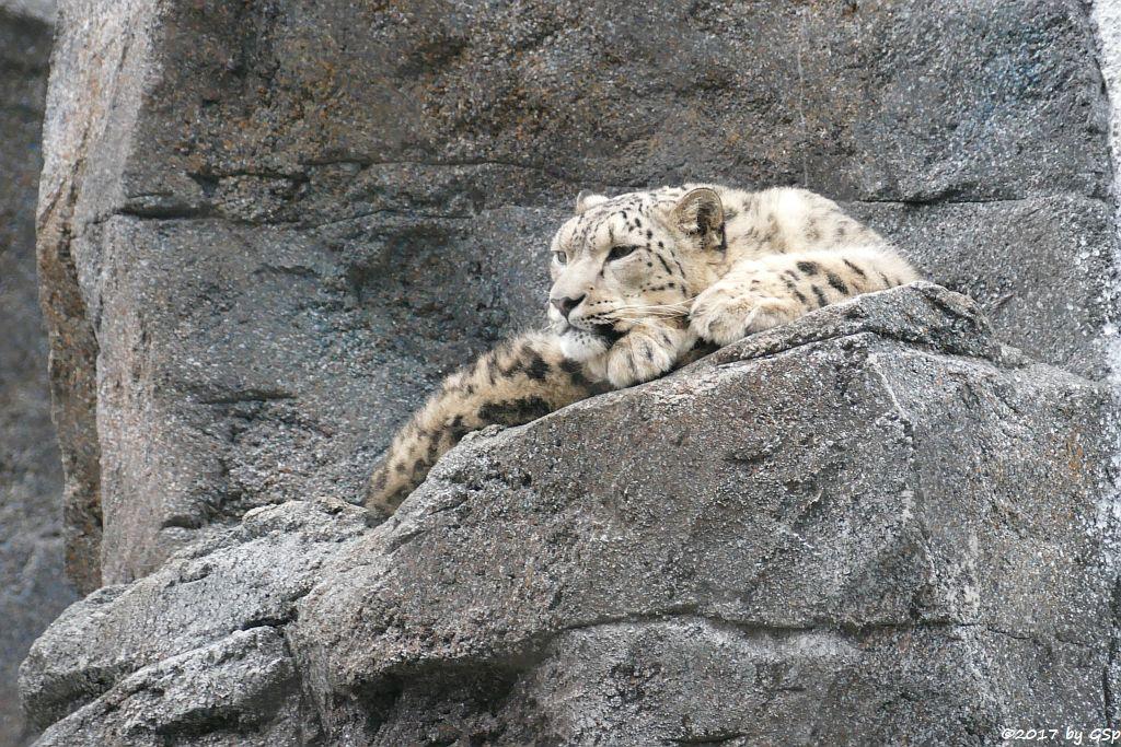 Irbis (Schneeleopard)