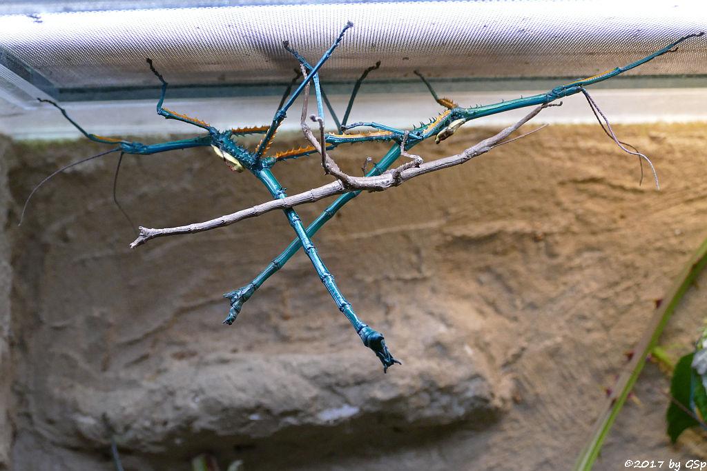 Türkisblaue Riesenstabschrecke