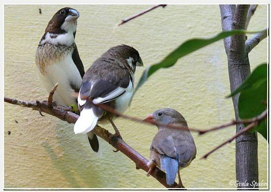 Japanische Mövchen und Blaukopf-Schmetterlingsfink