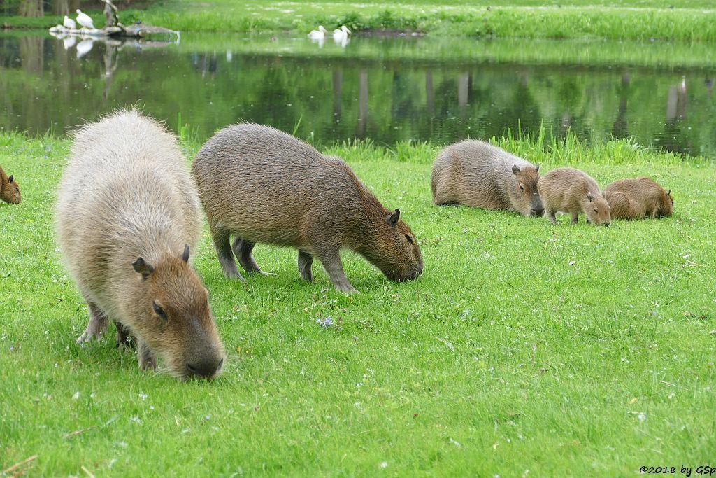 Wasserschwein (Capybara), Rötelpelikan (Rotrückenpelikan)