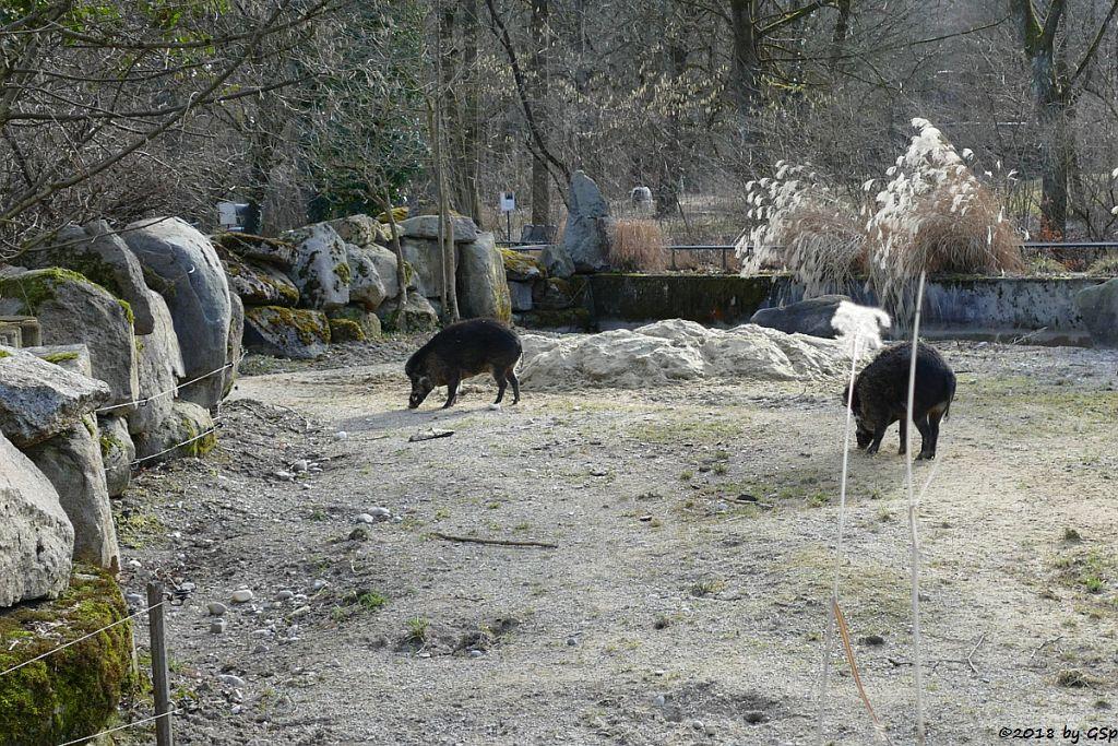 Negros Pustelschwein (Visayas-Pustelschwein, Visayas-Mähnenschwein)