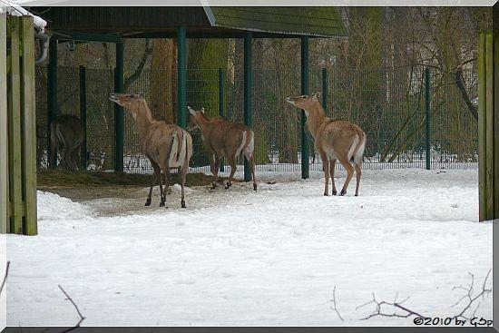 Nilgau-Antilope