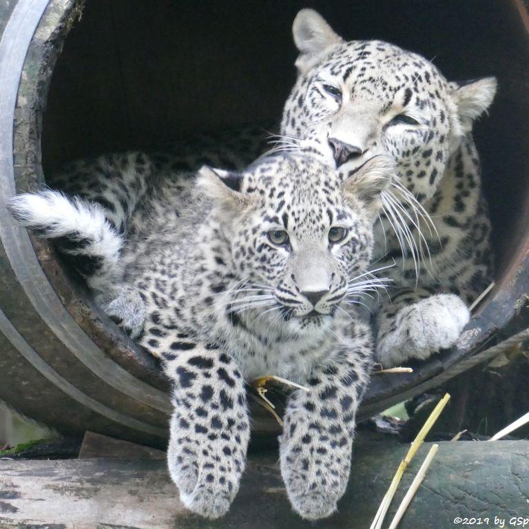 Nordpersischer Leopard (Afghanischer Leopard), Jungtier geb. am 3.4.19
