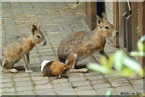 Mara und Hausmeerschweinchen