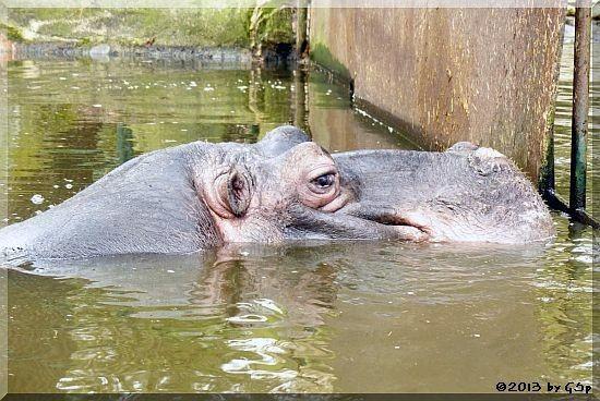 Flusspferd TANA