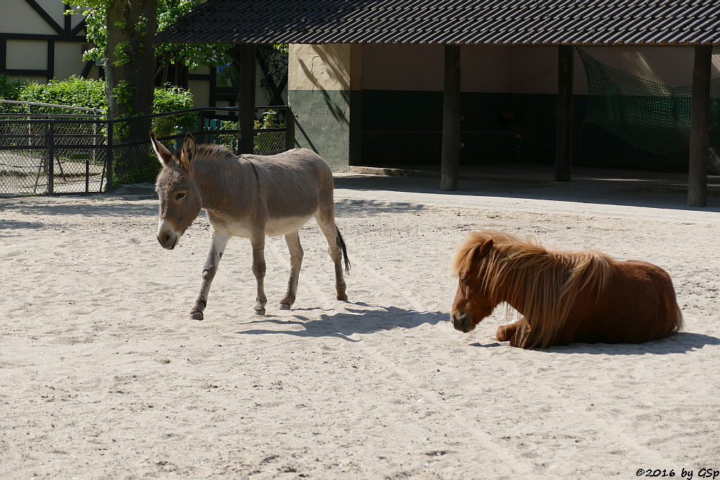 Thüringer Waldesel, Shetland-Pony