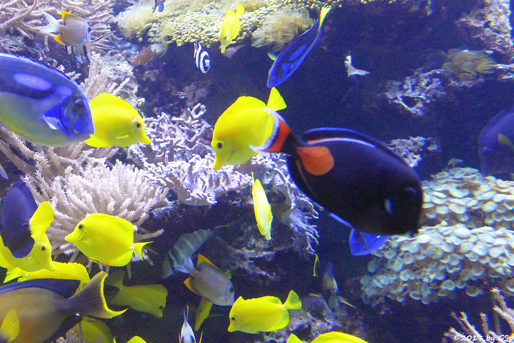 Paletten-Doktorfisch, Gelber Segelflossen-Doktorfisch, Rotschwanz-Doktorfisch