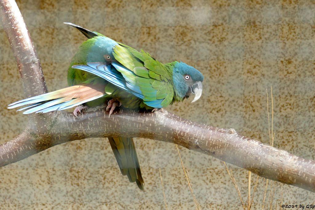 Blaukopfara (Gebirgsara)