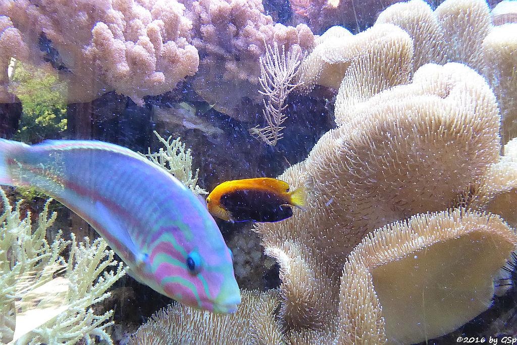 Regenbogen-Lippfisch, Orangerücken-Zwergkaiser