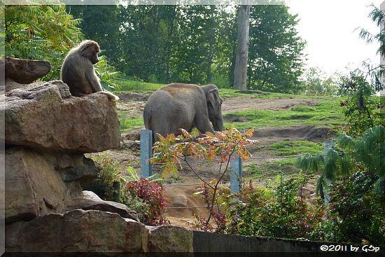 Mantelpavian und Asiatischer Elefant