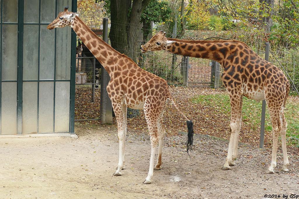 Kardofan-Giraffe, Okapi (Kurzhalsgiraffe, Waldgiraffe)