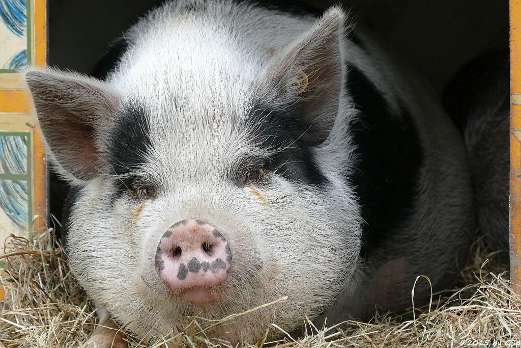 Minischwein