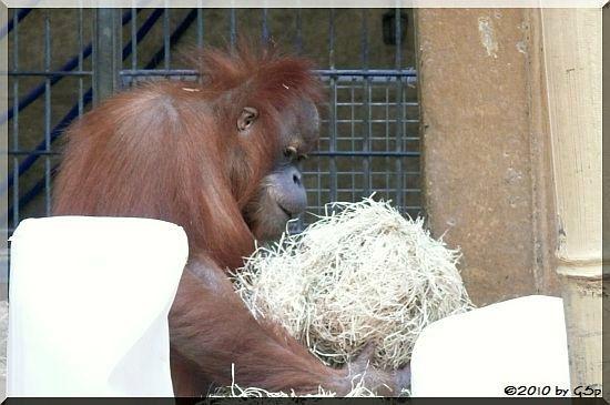 Sumatra-Orang-Utan MIRI