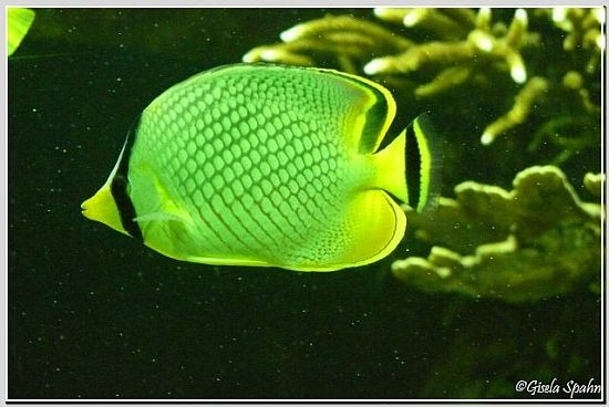 Raffles Schmetterlingsfisch