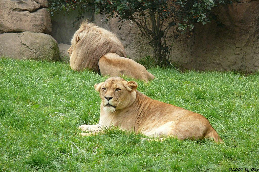 Angola-Löwenpaar MATADI und LUENA