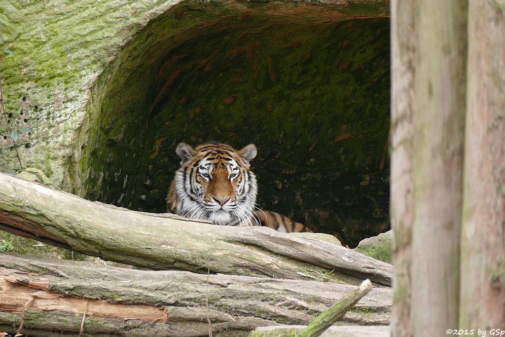 Sibirische Tigerin KATHINKA