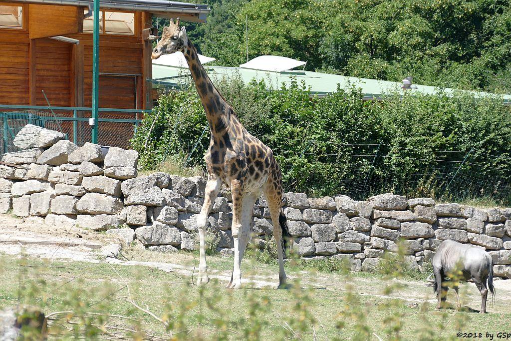 Rothschildgiraffe (Uganda-Giraffe, Baringo-Giraffe), Südliches Streifengnu (Blaues Gnu)