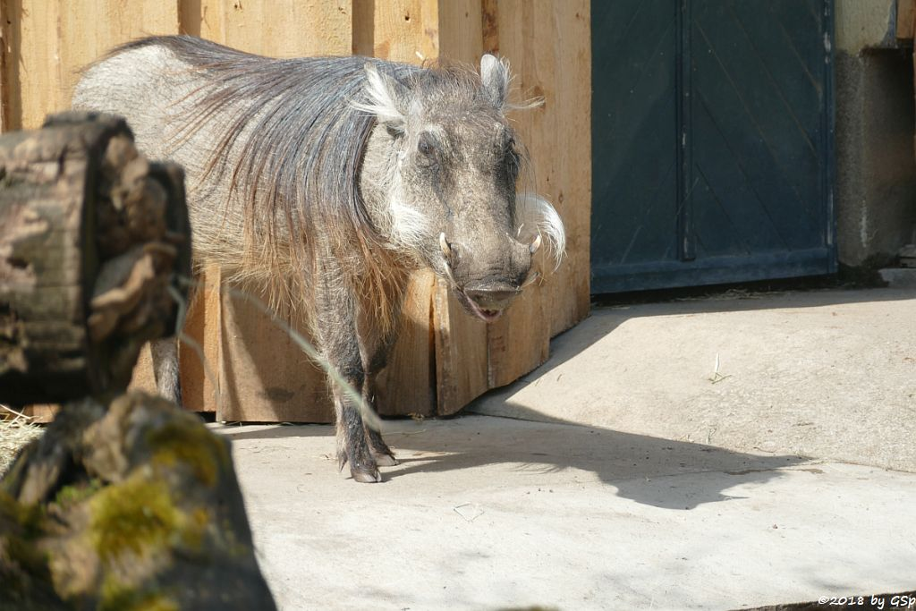 Westafrikanisches Warzenschwein