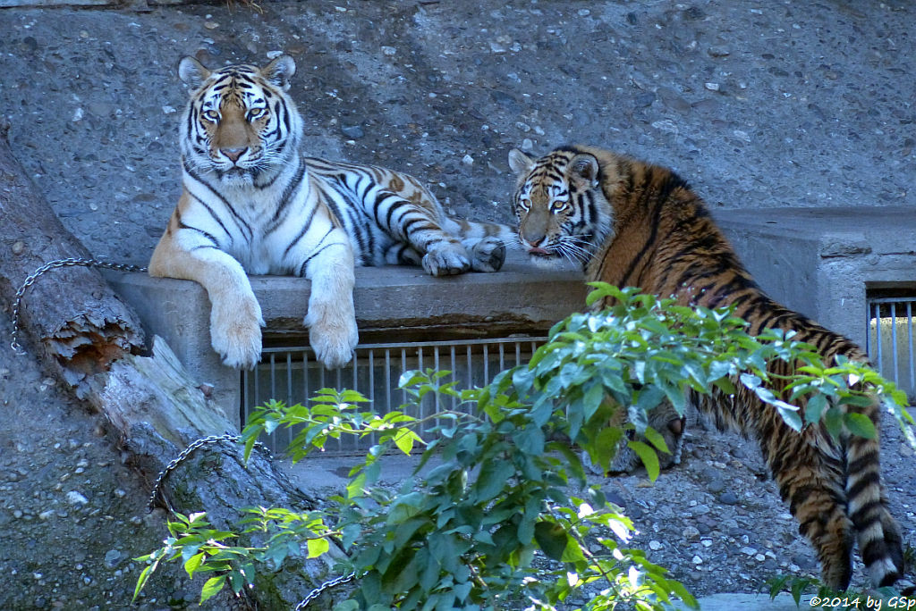Sibirische Tigerin HANYA mit ihrer Tochter, geb. am 10.08.13
