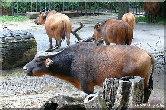 Rotbüffel (Afrikanischer Büffel)
