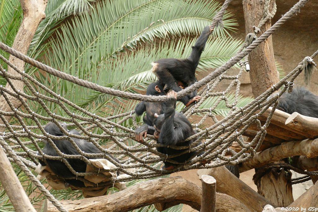 Ostafrikanischer Schimpanse