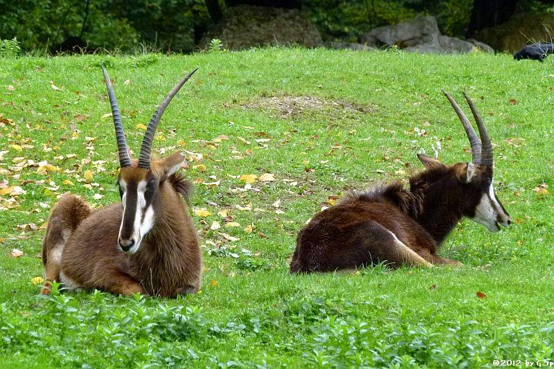 Rappen-Antilope