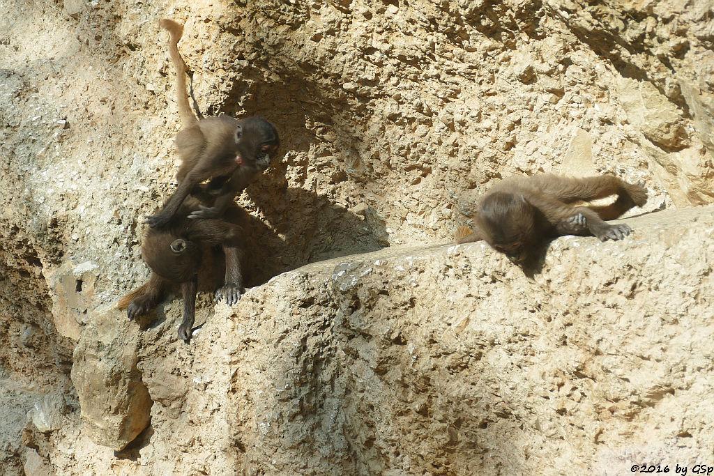 Blutbrustpavian (Dschelada)