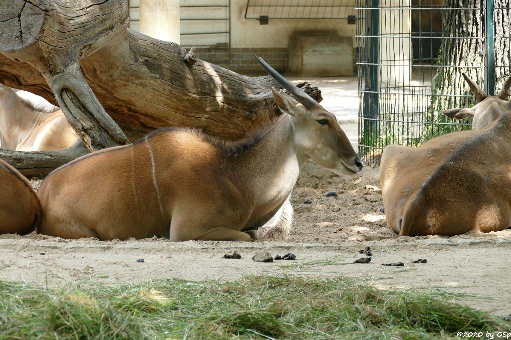 Elenantilope