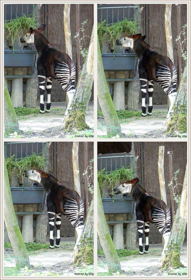 Okapi (Kurzhalsgiraffe, Waldgiraffe) ZAWADIs Sohn THABO, geb. 19.1.10