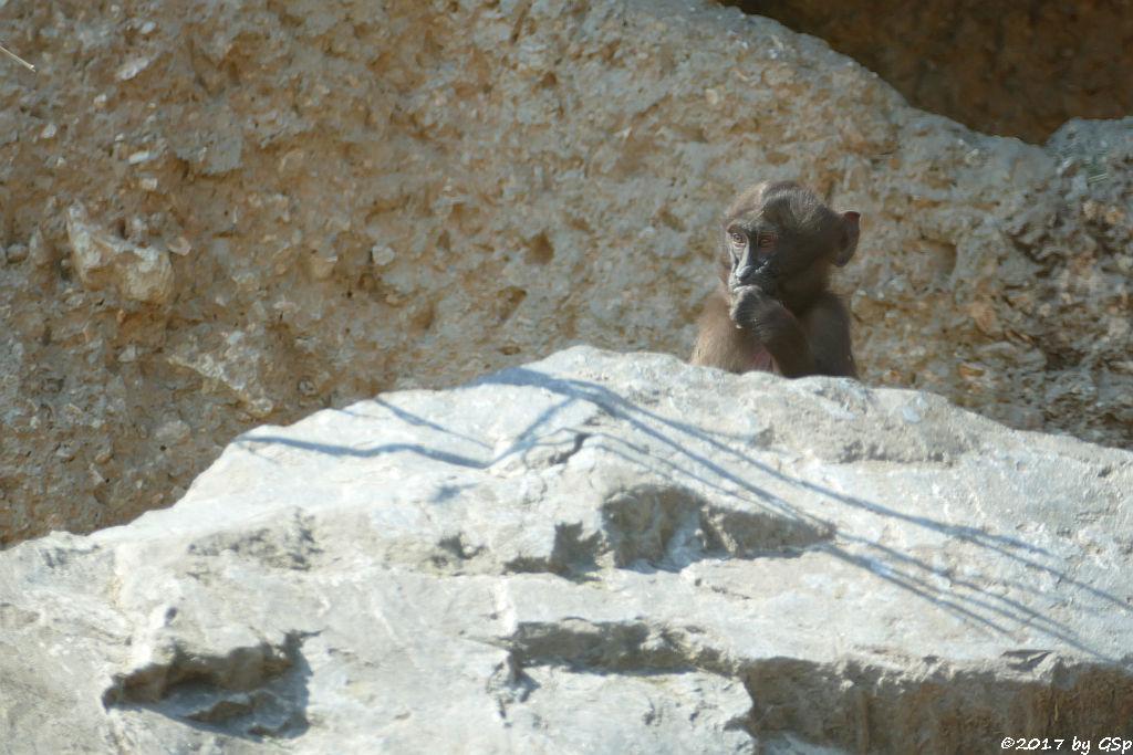 Butbrustpavian (Dschelada)