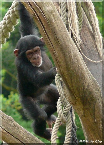 Schimpanse, geb. 25.5.08