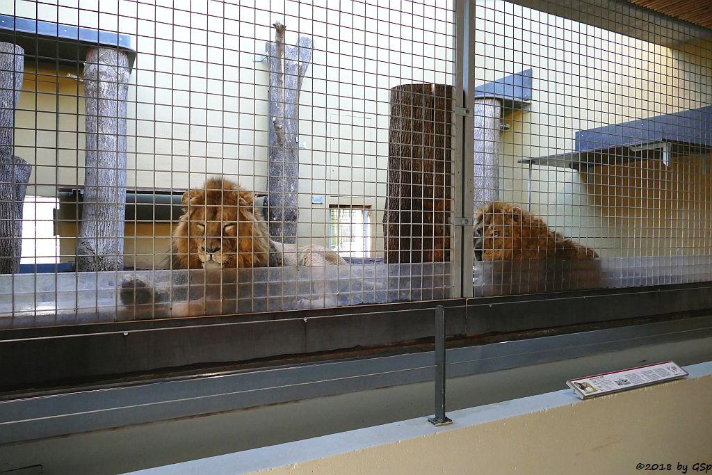 Asiatische Löwen SHAPUR und KAJAL, geb.9.9.14 in Mulhouse, in Stgt.15.3.17