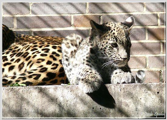 Persischer Leopard, geb. im April 2008 (ca. 5 Mon. alt).