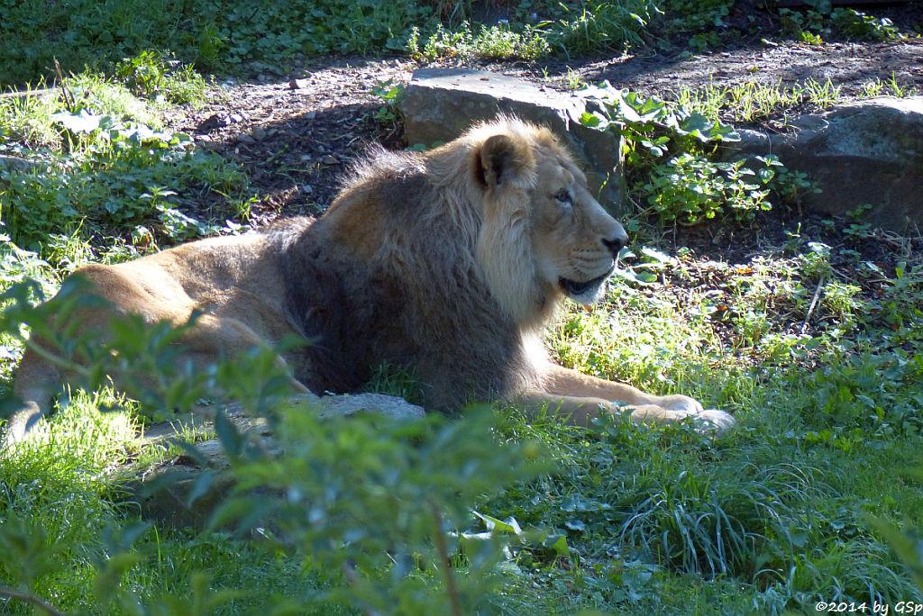 Amurtiger (Sibirischer Tiger, Mandschu-Tiger) SERGANAsiatischer Löwe