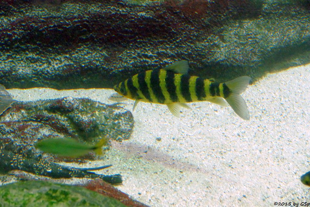 Sumpfleporinus