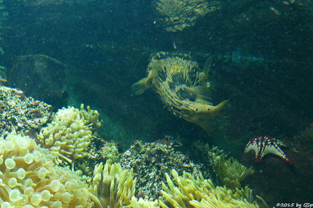 Braunflecken-Igelfisch, Lincks Walzenseestern
